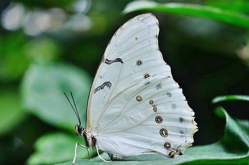 Morpho, Polyphemus, Butterfly, White, Insect, Wings