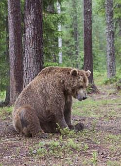 Bear, Adult, Old, Tired Of The, Sitting, Resting On The