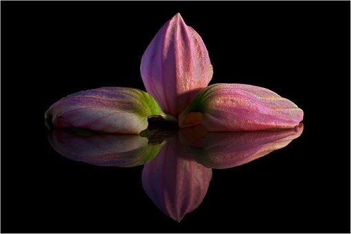 Medinilla, Petal, Mirroring, Pink, Exclusiv, Macro