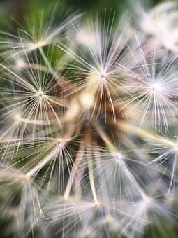 Macro, Dandelion, Taraxacum, Lawn, Spring, Springtime