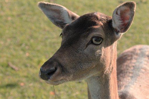 Tierportait, Roe Deer, Fallow Deer, Nature, Animal
