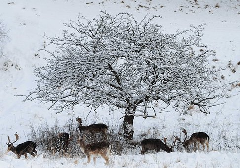 Fallow Deer, The Searchers, Winter In The Park