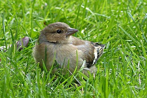 Chaffinch, Fringilla Coelebs, Bird, Young, Garden