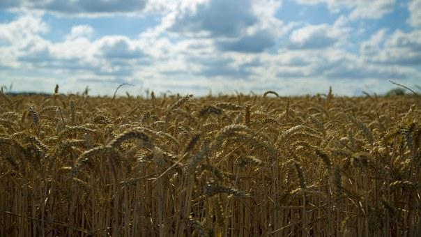 Wheat, Mai Tian, Harvest, Fruit Fact, 飽 Full