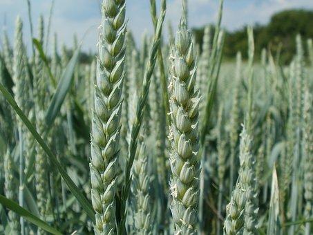 Wheat, Field, Ear, Head, Spica, Agriculture, Crop