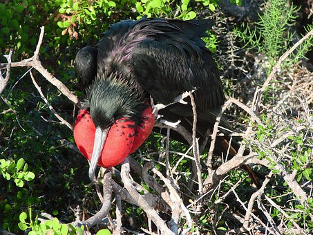 Frigatebird, Bird, Seabird, Puffed Up, Animal, Beak
