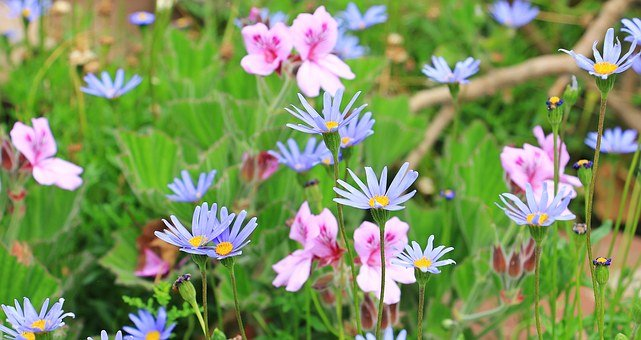 Blue Daisy, Australian Daisy, Daisy, Flowers, Plant
