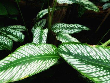 Calathea Ornata, Plants, Leaves, Green, Beautiful