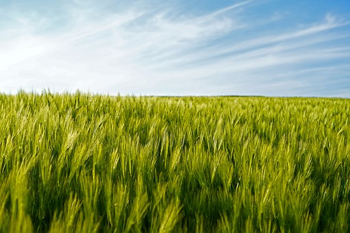 Field, Wheat, Wheat Fields, Epi, Agriculture, Cereals