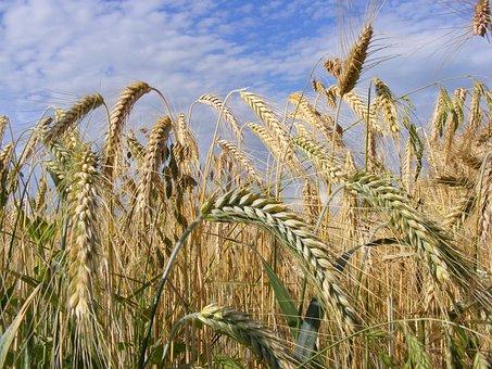 Agriculture, Bread, Cereals, Close-up, Ear, Grain