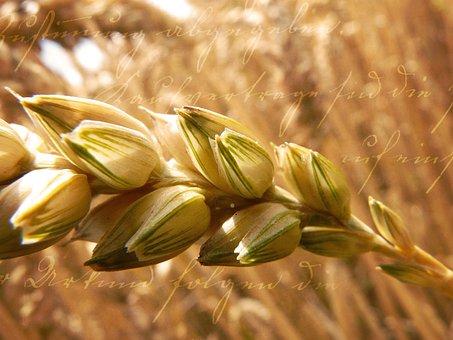 Wheat, Grain, Ear, Plant, Cereals, Close Up