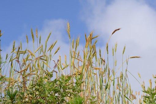 Agriculture, Crop, Wheat, Field, Farming, Nature, Rural