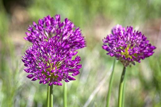 Spring, Globe Thistle, Bloom, Violet, Flower, Thistle