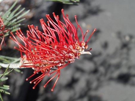 Bottle-brush, Flora, Flower, Red, Blossom, Spring, Bush