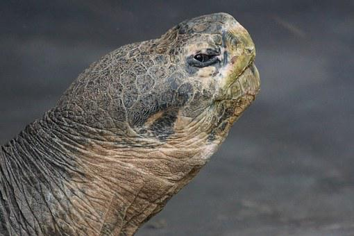 Giant Tortoise, Galápagos Giant Tortoise, Turtle