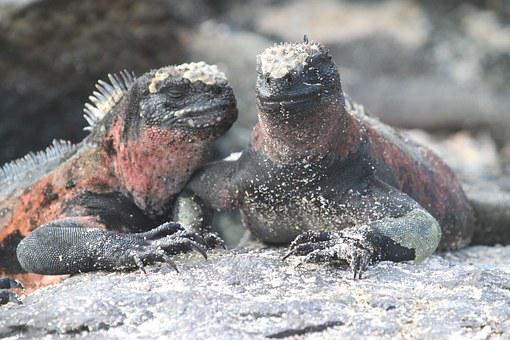 Marine Iguana, Lizard, Galapagos, Ecuador, Iguana