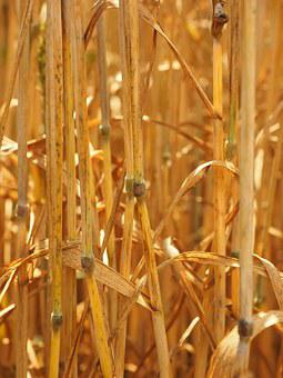 Halme, Straws, Knot, Wheat, Wheat Stalks, Golden Yellow