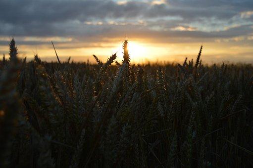 Landscape, Field, Sky, Grass, Nature, Hay, Crop, Wheat