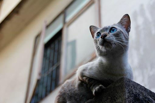 Cat, Thailand, Paw, Hunt, Attention, Instinct