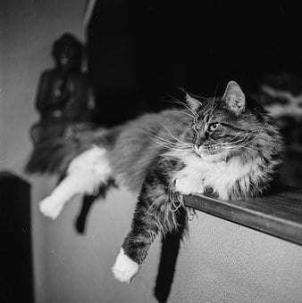 Cat, Posing, Lying, Cute, Animal, Pose, Pet, Adorable