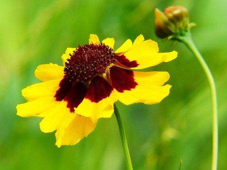 Mädchenauge, Coreopsis Tinctoria, Pointed Flower