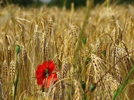 Poppy, Cornfield, Weizenären, Ary, Wheat Field, Cereals