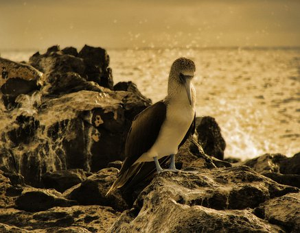 Blue Footed Booby, Bird, Animal, Creature, Sepia, Fauna