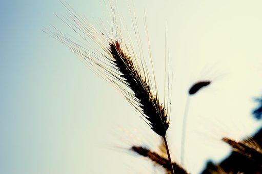 Wheat, Spike, Cereals, Summer, Grain, Field, Arable