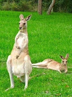 Kangaroo, Male, Standing, Female, Lying, Animals