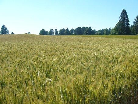 Wheat, Wheatfield, Switzerland, Forest
