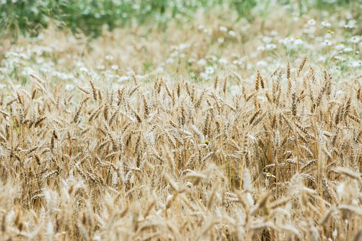 Wheat, Wheat Field, Cereals, Arable, Agriculture