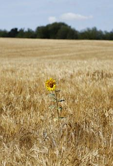 Sunflower, Barley, Field, Wheat, Agriculture, Seed