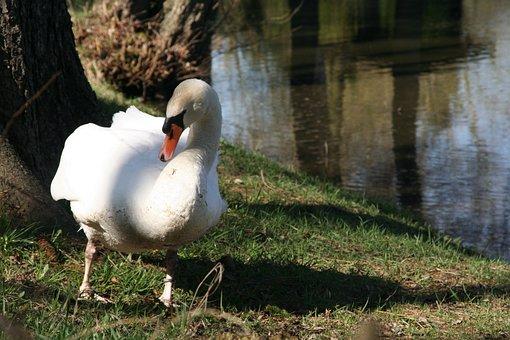 Swan, Romance, Lake, Mute Swan, Bird, White, Animal
