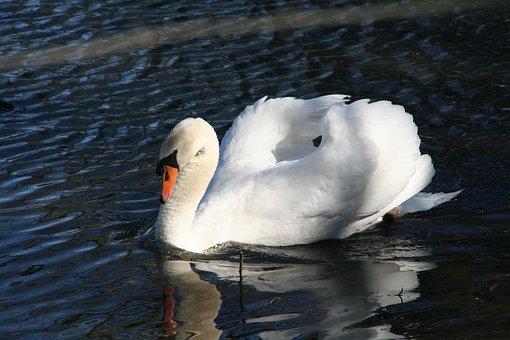 Swan, Romance, Lake, Bird, Mute Swan, Duck Bird, White