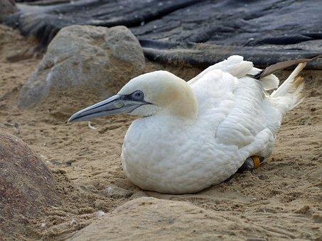 Northern Gannet Morus Bassana, Sea Bird, Bird, Animal