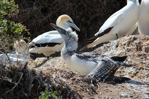 Boobies, Birds, Sulidae, Sea Birds, Pelecaniformes