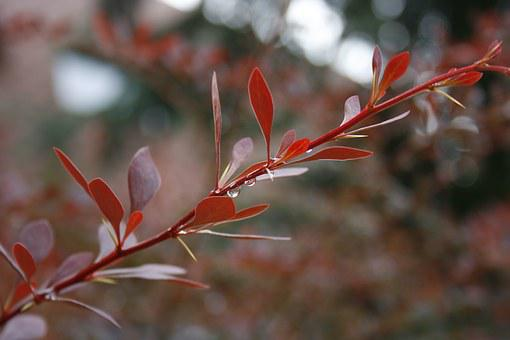 Plant, Bush, Red, Nature, Garden, Botany, Outdoor