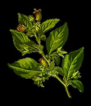 Belladonna, Deadly, Herbal, Medicinal, Medicine
