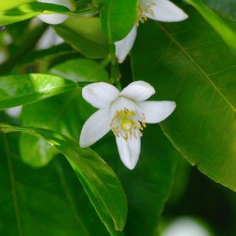 White, Flowers, Chinese Citron, Mandarin Oranges