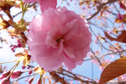 Flowers, Flower, Cherry, Nature, Flowering, Spring