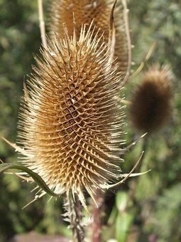 Teasle, Dried, Brown, Weed, Outdoor, Nature, Meadow