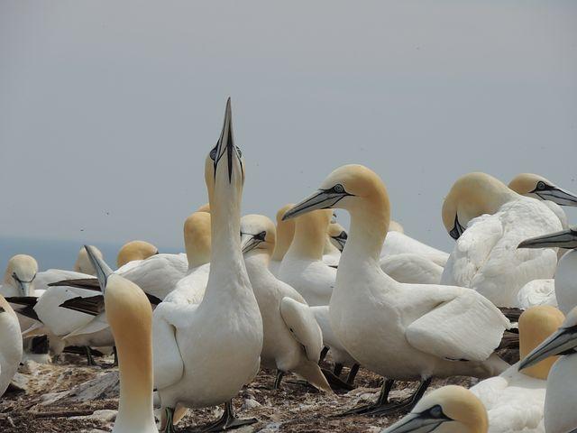 Northern Gannet, Birds, Bonaventure Island