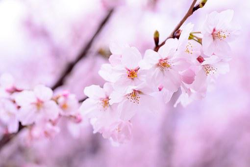 Plant, Spring, Flowers, Japan, Pink, Natural, Cherry