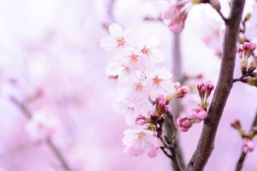 Plant, Spring, Flowers, Japan, Pink, Natural