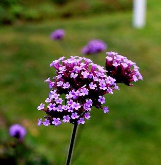 Verbena, Verbenaceae, Purpletop Vervain, Purple, Flower