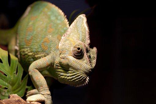 Pets, Animal, Reptile, Chameleon, Black Animals