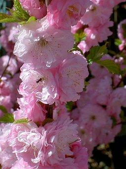 Pink, Bloom, Flower, Nature, Blooming, Rose, Summer