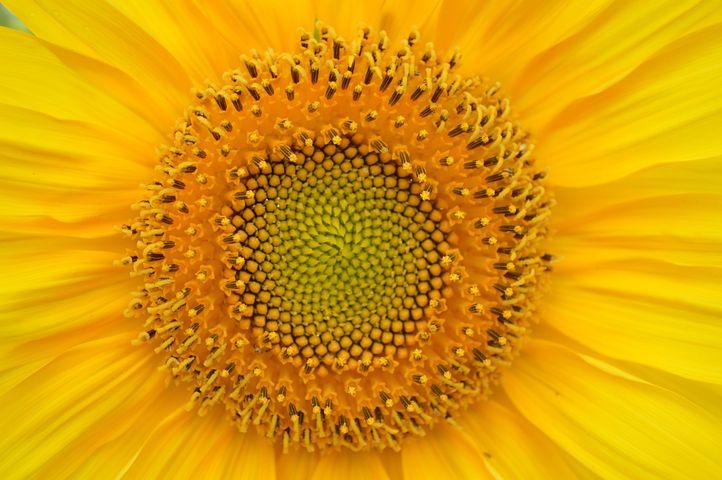Sunflower, Yellow, Heart, Sun, Big Flower, Flower