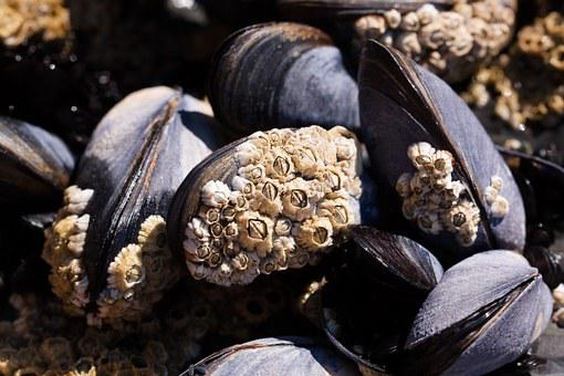 Mussels, Barnacles, Mytilus, Watt Area, Coastal Region