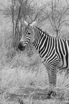 Zebra, Animal, Family, Wild, Mammal, Safari, Africa